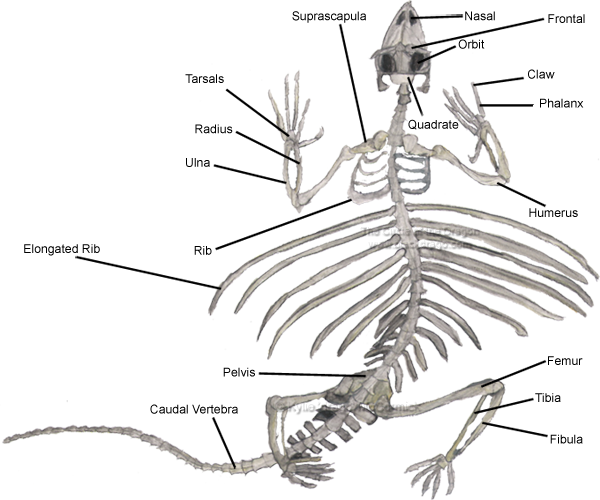 gecko skeleton diagram